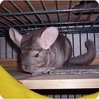 Adopt A Pet :: Chichi - Avondale, LA