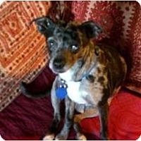 Adopt A Pet :: Dingo - North Hollywood, CA