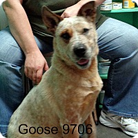 Adopt A Pet :: Goose - baltimore, MD