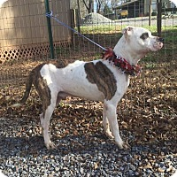 American Pit Bull Terrier/Pit Bull Terrier Mix Dog for adoption in North, Virginia - Ringo