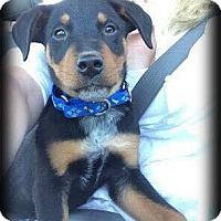 Adopt A Pet :: Gunner - Sinking Spring, PA