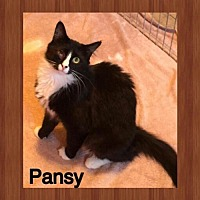 Domestic Mediumhair Cat for adoption in Surprise, Arizona - Pansy