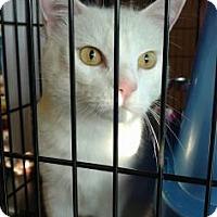 Domestic Shorthair Cat for adoption in Cheltenham, Pennsylvania - Analiese