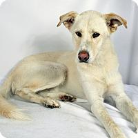 Adopt A Pet :: Flynn Husky Mix - St. Louis, MO