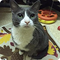 Domestic Shorthair Cat for adoption in Blasdell, New York - Genny