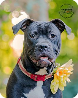 Pit Bull Terrier Mix Dog for adoption in Cincinnati, Ohio - Ainsley- WAIVED FEE