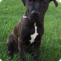 Pit Bull Terrier Mix Puppy for adoption in Middletown, Ohio - Hydie