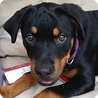 Rottweiler Puppy for adoption in Wenonah, New Jersey - Leila