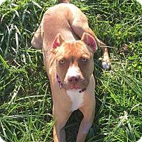 Adopt A Pet :: Cinnabon - Dayton, OH