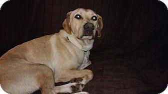 Labrador Retriever Mix Dog for adoption in Island Lake, Illinois - Shorty