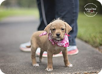 Golden Retriever/Dachshund Mix Puppy for adoption in Seattle, Washington - ARELI - WATCH MY VIDEO