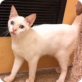 Siamese Kitten for adoption in Houston, Texas - Curry