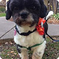 Shih Tzu Dog for adoption in St. Louis Park, Minnesota - Ernie