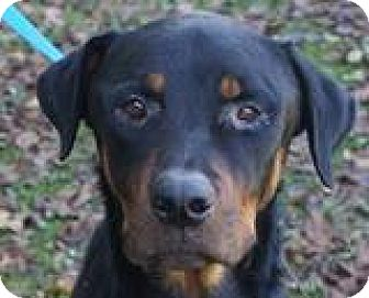 Rottweiler Dog for adoption in Irmo, South Carolina - Riggs