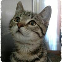 Adopt A Pet :: Guinevere - Pueblo West, CO