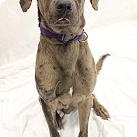 Adopt A Pet :: Merle - Bradenton, FL