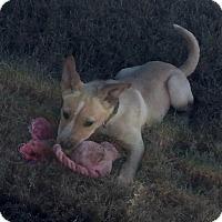 Adopt A Pet :: POLLI - Fishkill, NY