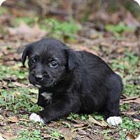 Adopt A Pet :: Bailey - Groton, MA