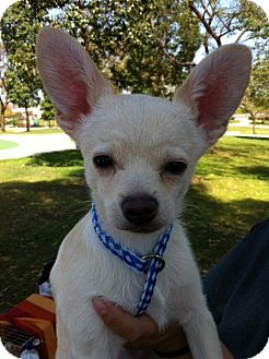 Chihuahua/Terrier (Unknown Type, Small) Mix Puppy for adoption in San Diego, California - CASPER (HW)