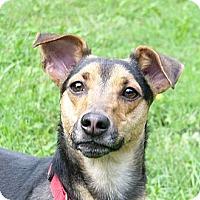 Adopt A Pet :: Scooby - Mocksville, NC