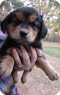 Rottweiler/Spaniel (Unknown Type) Mix Puppy for adoption in Starkville, Mississippi - Kate