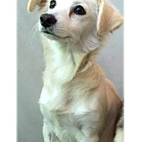 Adopt A Pet :: Koda - Grass Valley, CA