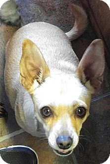 Chihuahua Dog for adoption in Arenas Valley, New Mexico - Tic Tac