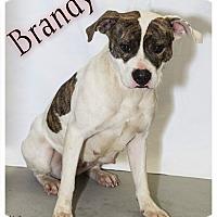 Adopt A Pet :: BRANDY - muskogee, OK