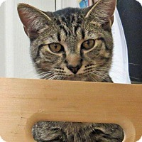 Adopt A Pet :: Vogel (bonded with Beck, 'Martian' kittens) - Alexandria, VA