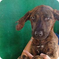 Adopt A Pet :: Nola - Oviedo, FL