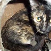 Domestic Shorthair Cat for adoption in Ashland, Ohio - samantha