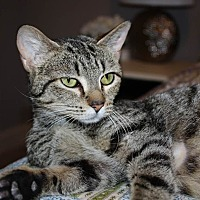 Domestic Shorthair Cat for adoption in Centerville, Georgia - Dalia