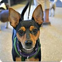 Adopt A Pet :: Maverick - Tavares, FL
