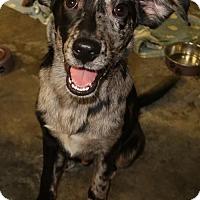 Adopt A Pet :: Care Bear - Rockingham, NH