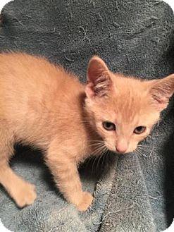 Domestic Shorthair Kitten for adoption in Rapid City, South Dakota - Adam