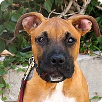 Adopt A Pet :: Baloo - Los Angeles, CA