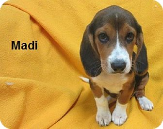 Beagle Puppy for adoption in Bartonsville, Pennsylvania - Madi