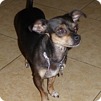 Chihuahua Mix Dog for adoption in San Diego, California - Muppet