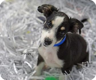 Papillon/Terrier (Unknown Type, Small) Mix Dog for adoption in Waterbury, Connecticut - Snoopy