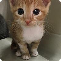 Adopt A Pet :: Lucy(Paulie Kitten 4) - New Braunfels, TX