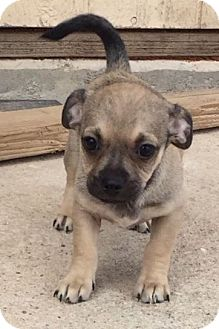 Pug/Dachshund Mix Puppy for adoption in Tucson, Arizona - Simone's pup Picachu
