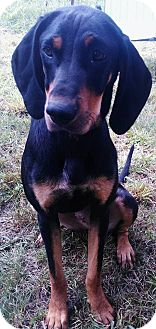 Coonhound Dog for adoption in Corbin, Kentucky - Piper