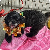 Adopt A Pet :: Scruffy - Palm Harbor, FL