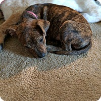Adopt A Pet :: Juliette - DeForest, WI