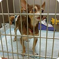 Adopt A Pet :: Little Guy - Hayes, VA