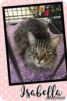 Domestic Mediumhair Cat for adoption in Scottsdale, Arizona - Isabella