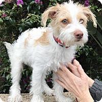 Adopt A Pet :: happy - Costa Mesa, CA