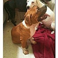 Adopt A Pet :: Hank - Geismar, LA
