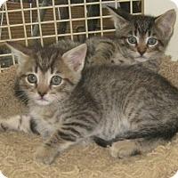 Adopt A Pet :: Ashes - Dallas, TX