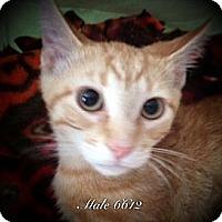 Adopt A Pet :: Sunkist-- Special Adoption Rat - St. Louis, MO